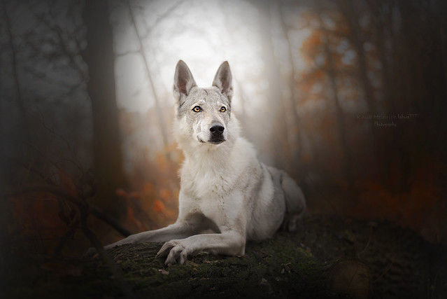 The majesty of a white wolf