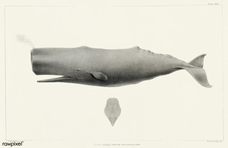 Sperm whale (Physeter macrocephalus) from Natural history of the cetaceans and other marine mammals of the western coast of North America (1872) by Charles Melville Scammon (1825-1911). | by Free Public Domain Illustrations by rawpixel