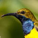 Olive-backed Sunbird - Photo (c) Kazredracer, some rights reserved (CC BY-NC-ND)