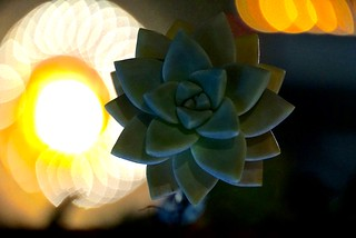 Succulent | by Itsgracia
