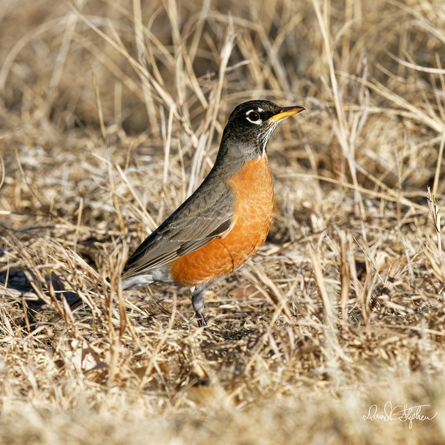 Robin Hunting For Worms