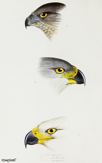 1. Australlan Goshawk (Astur approximans) 2. & 3. Grey Goshawk (Astur novaehollandiae) illustrated from A Synopsis of the Birds of Australia and the Adjacent Islands (1837) by John Gould (1804-1881).