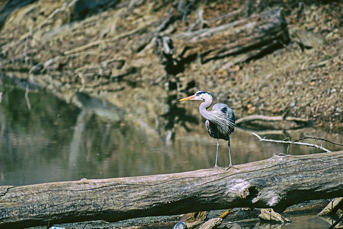 Great Blue Heron   by Mike J Maguire