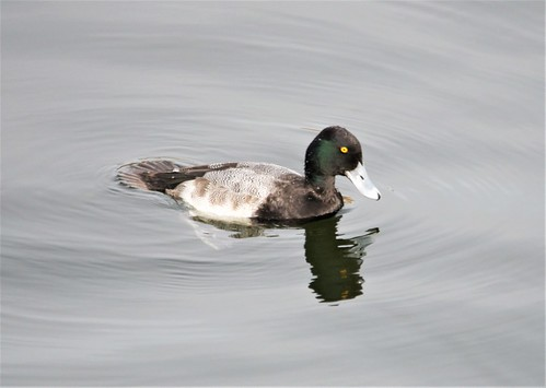 Lesser Scaup | by Bobpkins
