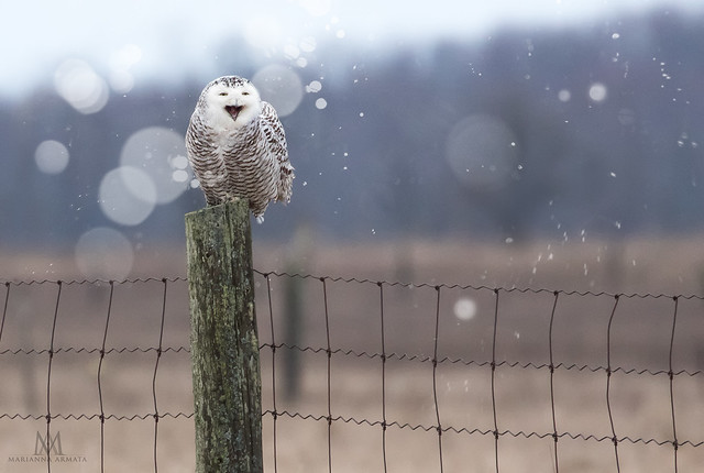 owl laughing at us all