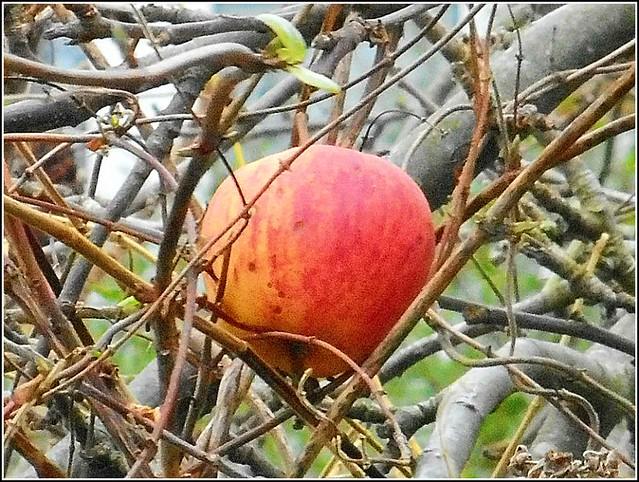 Last Surviving Apple...
