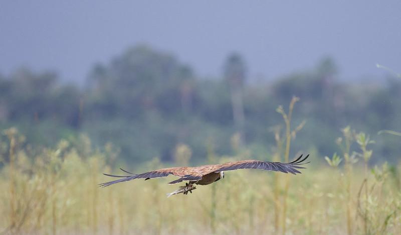 Black-collared Hawk, Busarellus nigricollis Ascanio_Peruvian Amazon 199A5968