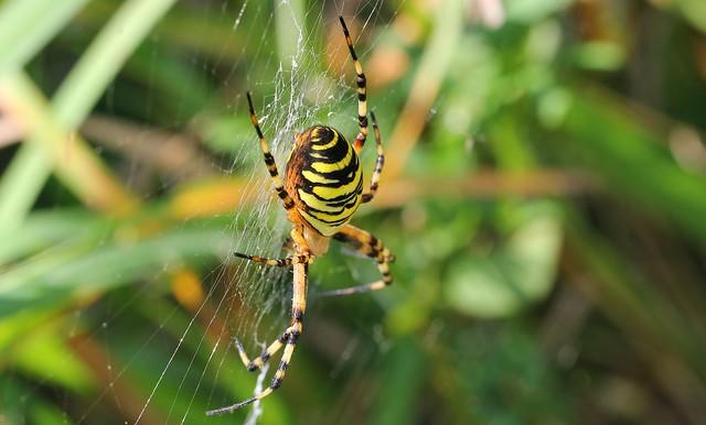Wasp Spider 050817 (7)