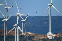Black kite and wind farm