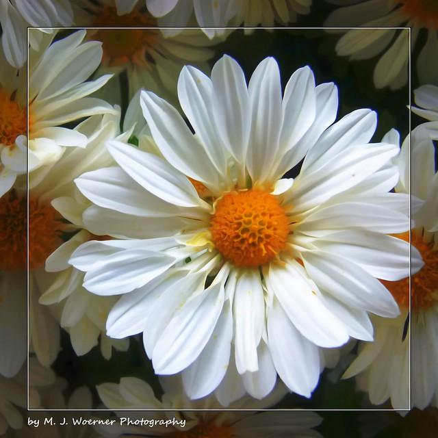 Chrysanthemum Abstraction 02