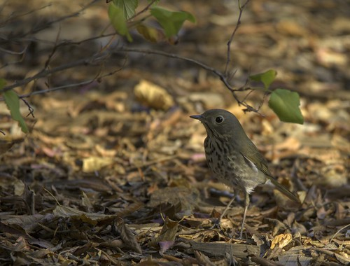 HETH_CROP   by eldoradobirds