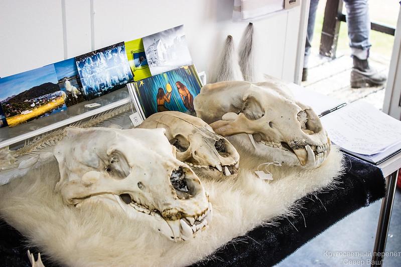 черепа белых медведей