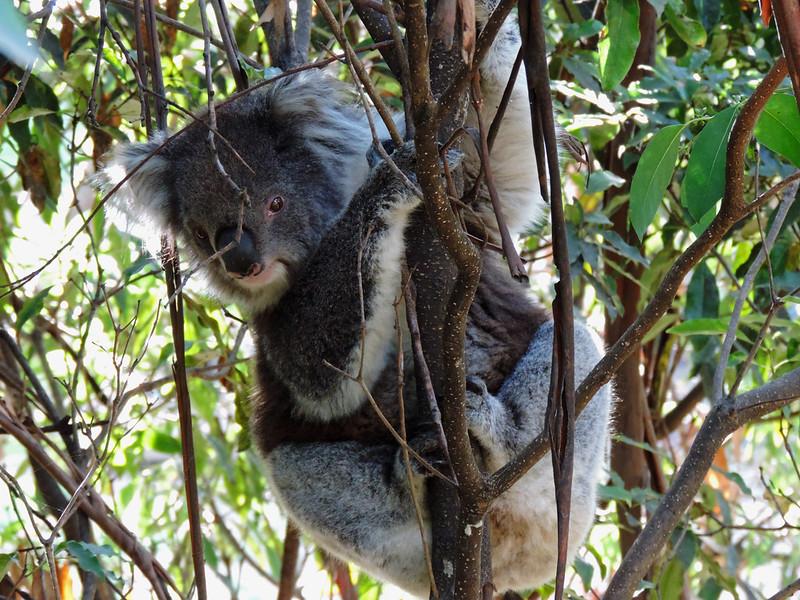 Kennett River Koala Walk, Great Otway National Park, Australia
