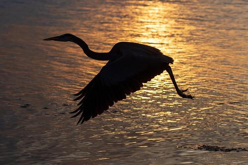 gulf outdoor seaside shore sea sky water nature wildlife 7dm2 ocean canon florida bird bif flight sun sunset dusk evening twilight