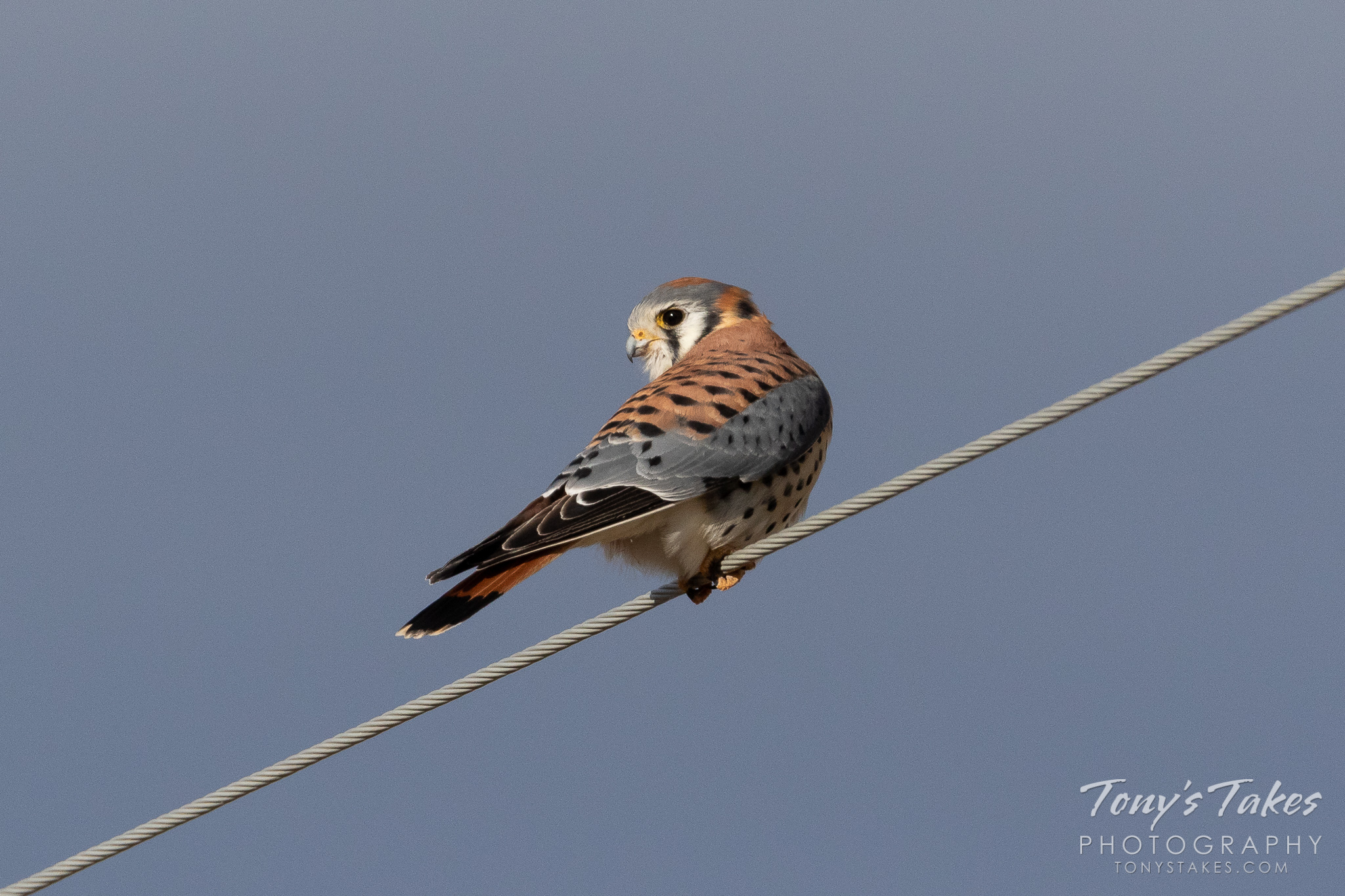 A male American kestrel hangs out on a wire in northern Colorado. (© Tony's Takes)