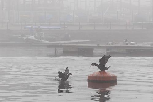When Cormorants Clash, Cropped | by gothick_matt