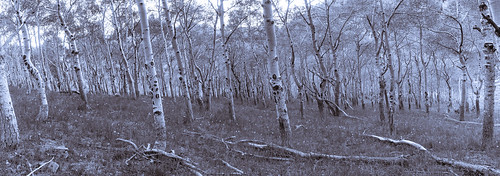 artmine ecosystems flowering forest monochrome panorama plant populus populustremuloides salicaceae treatments