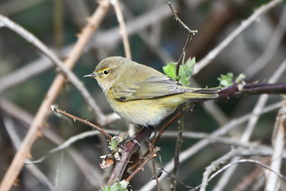 Exciting to see my first ChiffChaff of 2019 at Chesworth Farm, Horsham this afternoon   by David Verrall