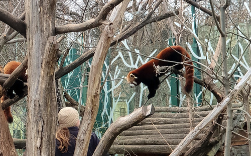 rote pandas   by michael pollak