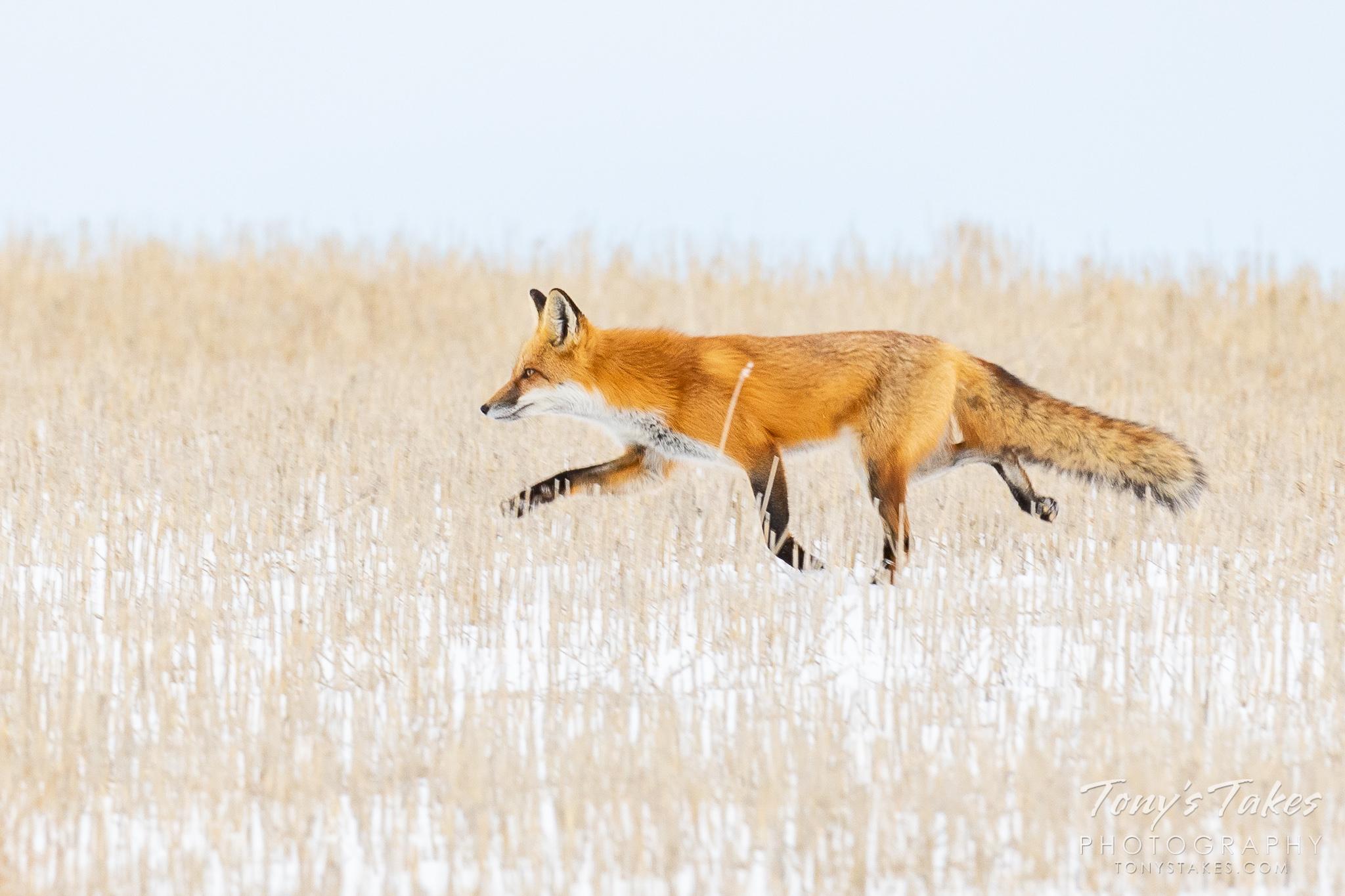 Fleet-footed fox in a field