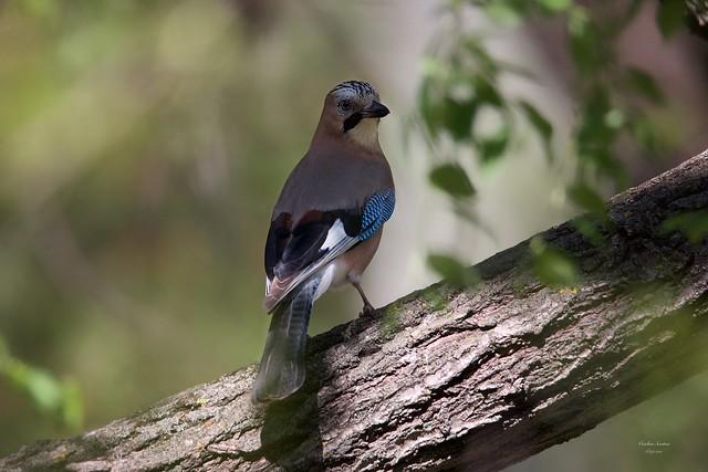 Gaio (European Jay)