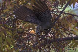 NOFL_CROP | by eldoradobirds