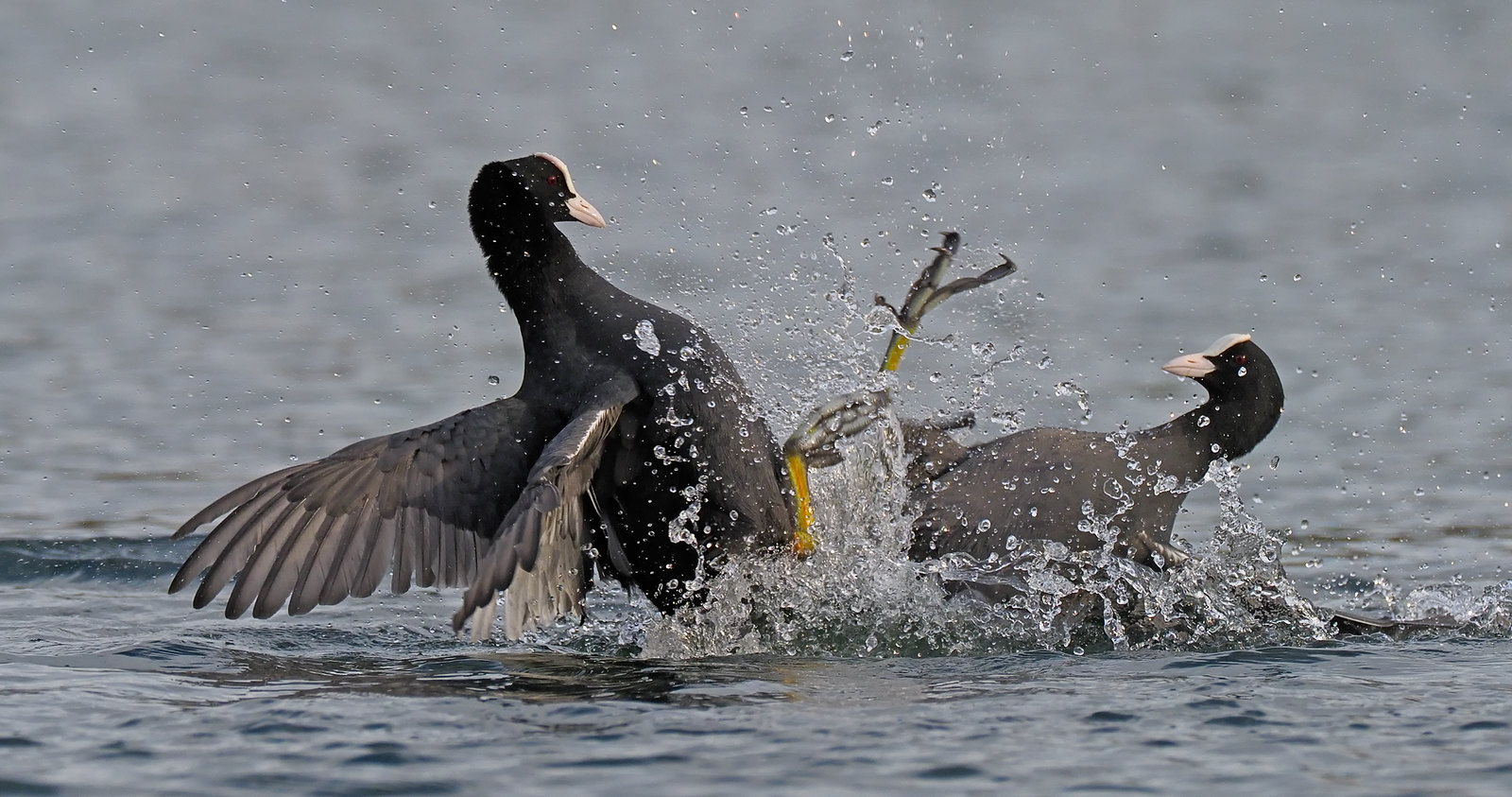 Coot fight!!