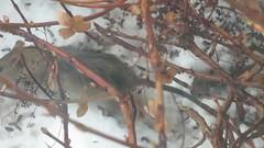 Rott käib ka päevalilleseemneid söömas / Rat likes birdfood as well