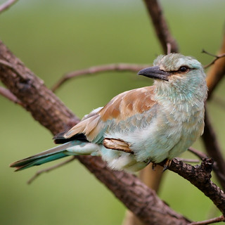 European roller, Coracias garrulus at Kruger National Park.