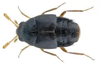 Holobus flavicornis (Boisduval & Lacordaire, 1835) | by urjsa