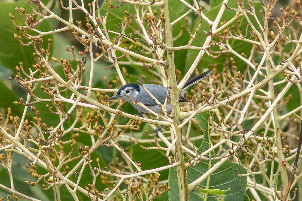 Polioptila plumbea (Tropical Gnatcatcher) - Polioptilidae - Rainforest Discovery Centre, Soberiana NP, Panama