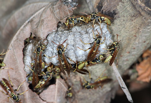 Paper wasps | by marcoli789