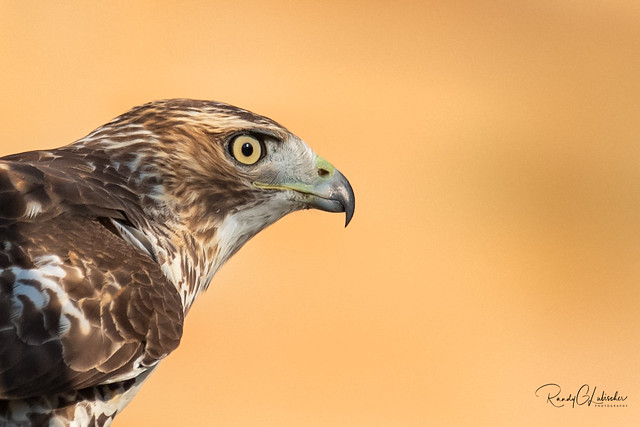 Red-tailed Hawk - Buteo jamaicensis | 2018 - 22