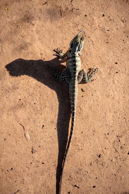 Brisbane - Iguana-2