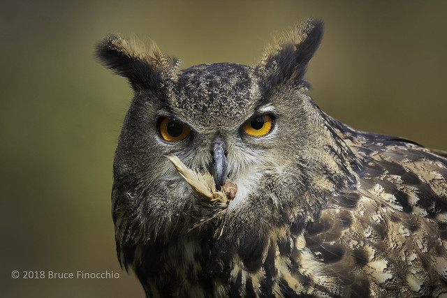 Eurasian Eagle-owl With A Piece Of Food In Its Beak