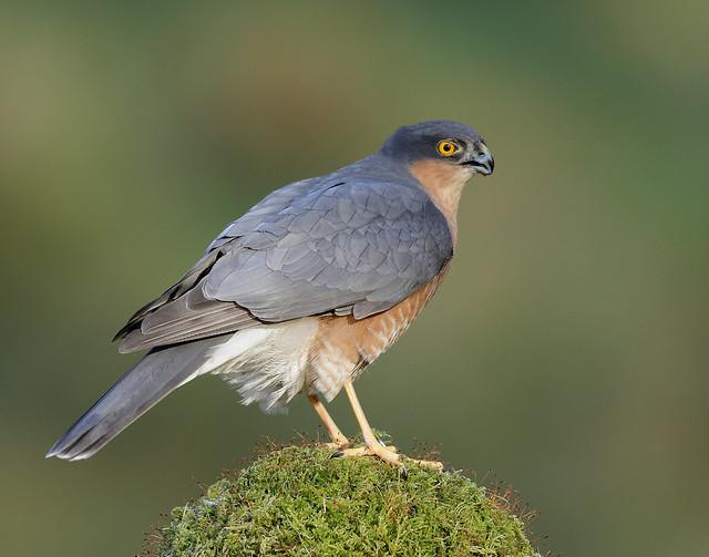 Sparrowhawk Accipiter nisus