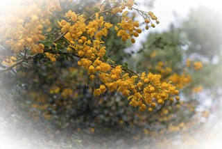 Berberis | by bhojman