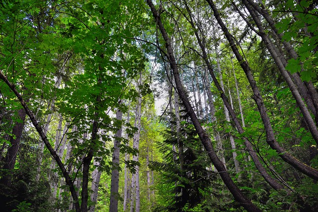 Trees Stretching up to the Skies Above (North Cascades National Park Service Complex)