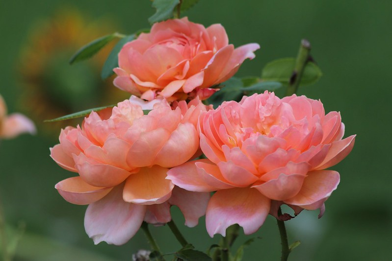Обои розы, лепестки, персиковый картинки на рабочий стол, раздел цветы - скачать