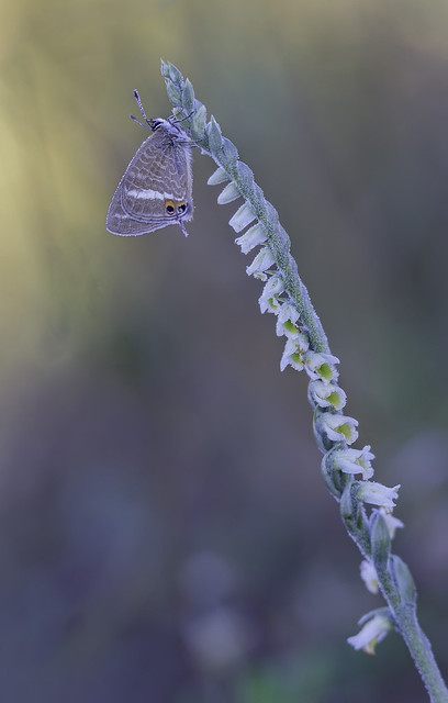 Spiranthes spiralis y lampides boeticus