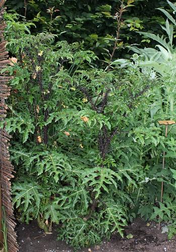 Solanum atropurpureum - diable pourpre 32668477048_4c8e4b5a53