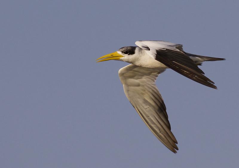 Large-billed Tern, Phaetusa simplex Ascanio_Peruvian Amazon 199A5725