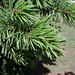 BristleconePine_Foliage_Sinton