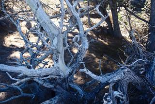 Dead tree, Cypress Grove trail, Point Lobos | by aenigmatēs
