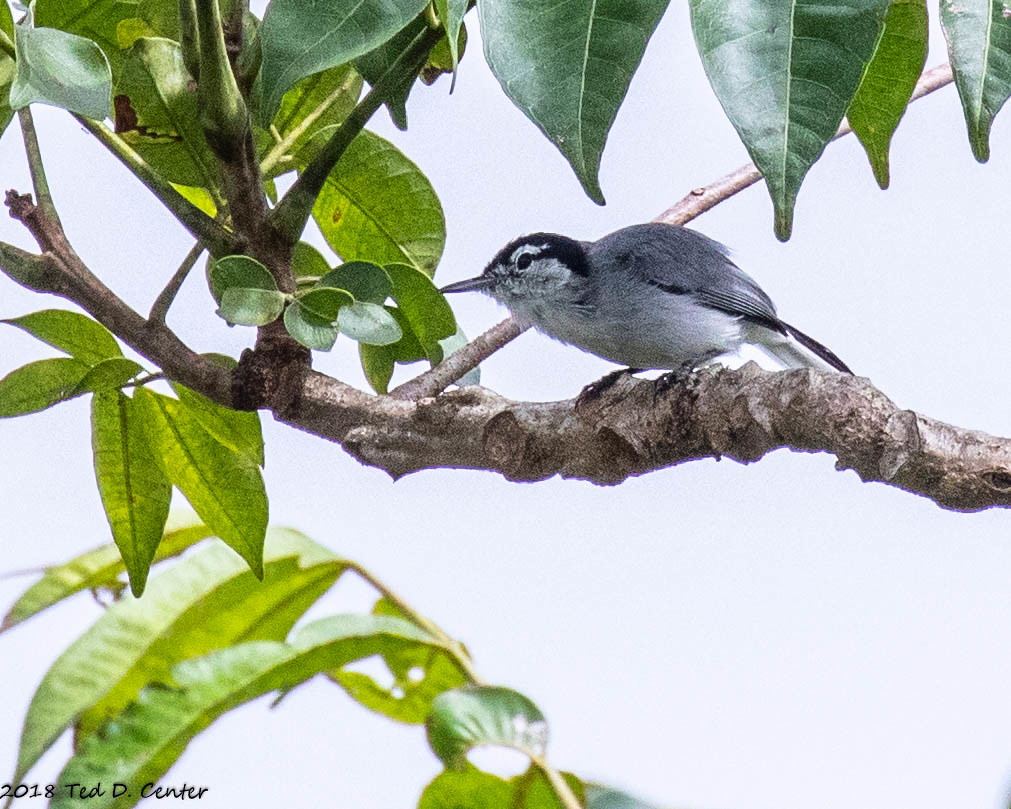 GNATCATCHER, Tropical (1 of 1)