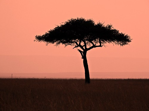 tree acacia acaciatree africa kenya riftvalley masaimara safari africansafari sunset orange stark silhouette landscape grasslands savannah desolate minimalist p900 jennypansing