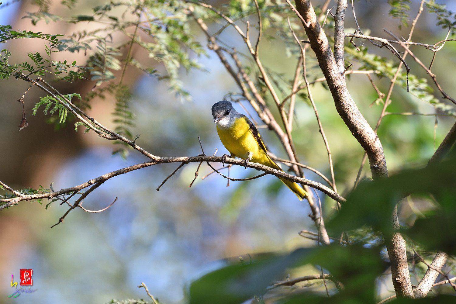 Grey-chinned_Minivet_8584