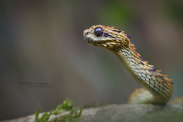 Rough-scaled Bush Viper