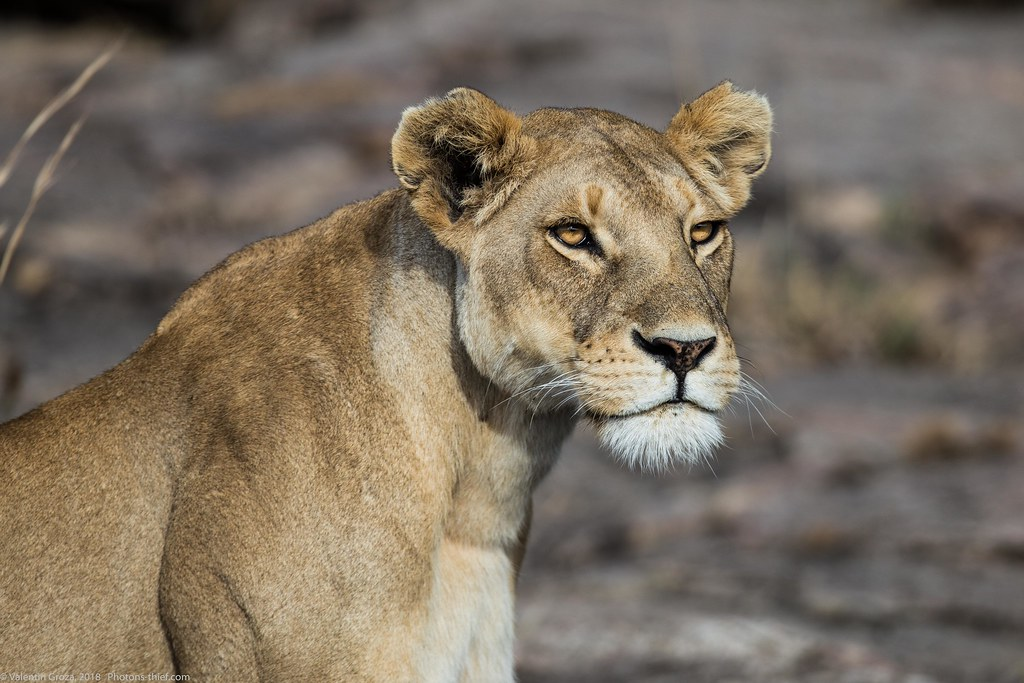 Leoaica cu pui_septembrie18_Serengeti_11