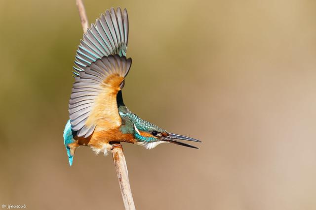 Martin-pêcheur d'Europe (Alcedo atthis) - Common Kingfisher